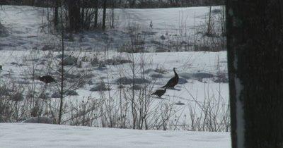 Turkeys Feeding in Winter, Stripping Seeds from Plant Stems