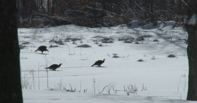 Wild Turkeys Walking in Winter, Walking Through Snow