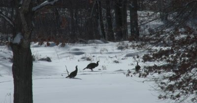 Turkeys in Winter, Walking Through Snow
