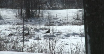 Turkeys Struggling Through Deep Snow, Feeding