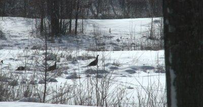 Turkeys Struggling Through Deep Snow, Feeding