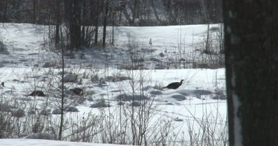 Turkeys in Winter, Feeding, Walking Through Snow