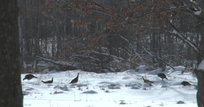 Turkeys Feeding in Winter, Plucking Seeds from Stem Tops, Reaching High