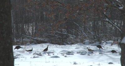 Turkeys Feeding in Winter, Plucking Seeds from Stem Tops, Reaching High