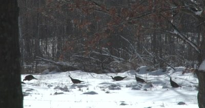 Turkeys Feeding, Wading Through Deep Snow