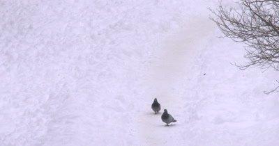 Rock Pigeons Walking Down Snowy Path