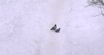 Rock Pigeons Walking on Snowy Path, Stopping, Feeding