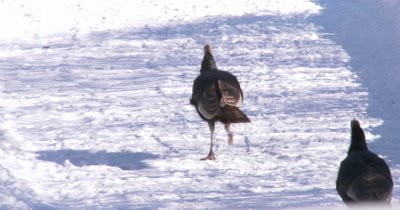 Wild Turkeys Run Through Frame, Exit Top