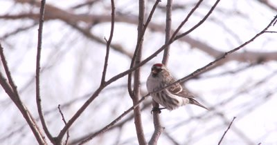 Common Redpoll on Branch, Exits Bottom