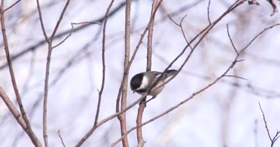 Black-capped Chickadee Enters Scene, Exits Quickly