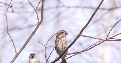 Common Redpoll and Female Purple Finch on Branch, Looking Around, Both Exit Quickly