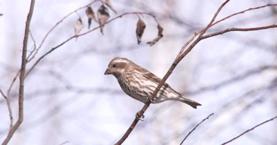 Female Purple Finch on Branch, Moves Down Branch