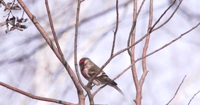 Common Redpoll on Branch, Exits to Bottom