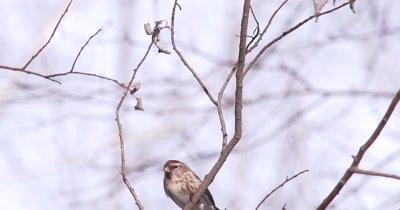 Common Redpolls on Branch, One Exits, Another Comes, Exits Also