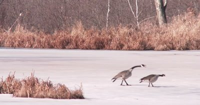 Canada Geese, Mated Pair Interacting, Defending Territory in Early Spring