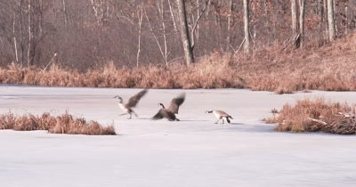 Canada Geese, Ganders Fighting Over Territory in Early Spring, Sliding on Ice, Interacting, Then Celebrating