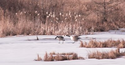 Canada Geese Fighting Over Territory, Hen Chasing Another Hen Off