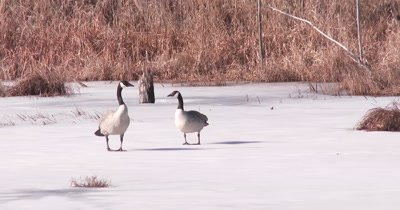Canada Geese Standing on Frozen Pond in Early Spring