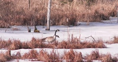Canada Geese in Early Spring on Icy Pond, Displaying to Other Geese, Territorial