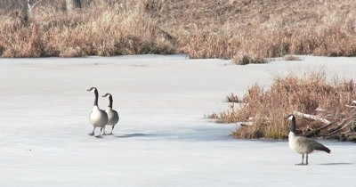 Canada Geese Pair On Frozen Spring Pond, Defending, Gesturing To Other Geese Off Frame, Territorial