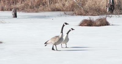 Canada Geese Pair Standing On Frozen Pond in Early Spring, Gesturing, Preening