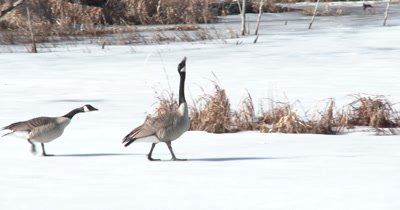 Canada Geese Pair, Threatening, Walking Toward Another Pair Off Frame, Territory Rivalry
