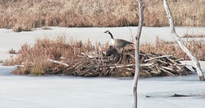 Canada Goose Pair, Defending Beaver Lodge Nesting Site in Early Spring, Ice on Pond