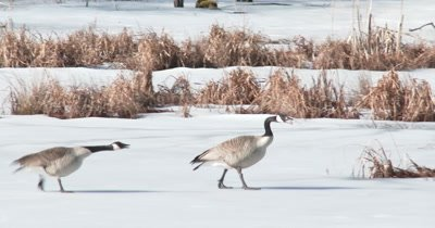 Canada Goose Pair, Agressive, Territory Disagreement With Other Geese