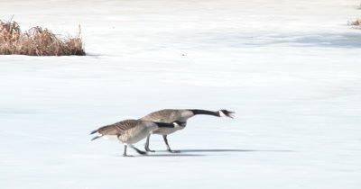 Canada Geese, Gesturing Toward Other Geese Off Frame, Territory Dispute