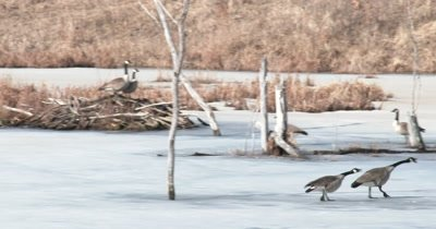 Group of Canada Geese, Gesturing, Posturing for Others, Territory Dispute Over Beaver Lodge Nest Site