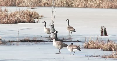 Canada Geese Standing on Ice, Beaver Pond in Early Spring