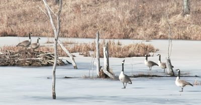 Group of Canada Geese in Early Spring, Gesturing, Tossing Heads, Territory Dispute Near Beaver Lodge