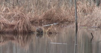 Muskrat in Pond, Eating Pond Weed Tubers