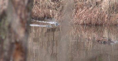 Three River Otters Swimming, Diving in Pond, Hunting