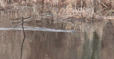 River Otter Swimming in Pond, Dives, Another Pops to Surface,  Follows