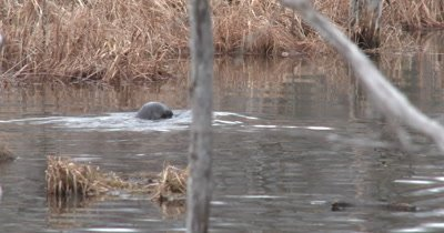 Two River Otters Swimming in Pond in Early Spring, Both Dive