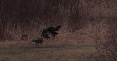 Wild Turkeys, Hen Feeding, Tom Displaying