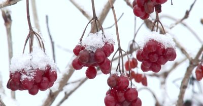 Highbush Cranberries, Covered With Spring Snow