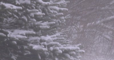 Spruce Trees with Blowing Wind and Snow, Blizzard