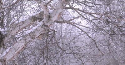Birch Trees in Snowstorm, Birds Taking Shelter, Common Redpolls