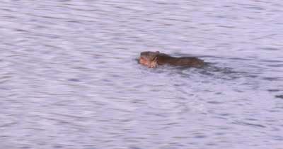 Muskrat Carrying Nesting Material, Swimming