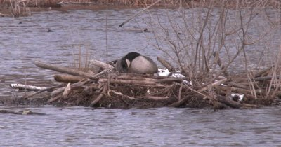 Canada Goose On Nest, Tucking Nesting Material Around Body