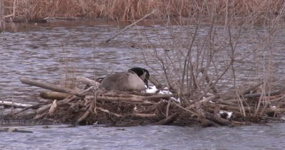 Canada Goose on Nest, Pecking At Snow Beside Nest