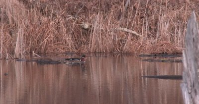 Wood Ducks Mating, Female Posturing for Male, Mating