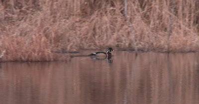 Male Wood Duck Drake Swimming Through Thick Reeds, Re-appearing from Other Side
