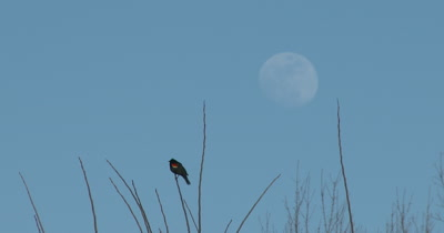 Red Winged Blackbird in Spring, Calling, Full Moon Beyond