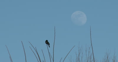Red Winged Blackbird in Spring, Calling, Good Eyeshine, Full Moon Beyond