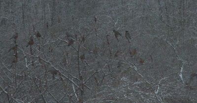 Robins, Large Group in Spring Snowstorm, Feeding on Staghorn Sumac