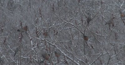Large Group of Robins in Spring Snowstorm, Feeding on Staghorn Sumac