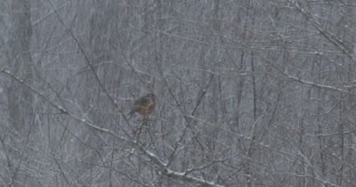 American Robin Perched on Branch in Snowstorm